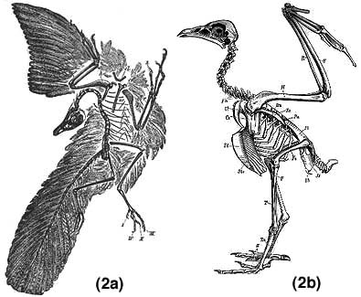 Archaeopteryx and a modern bird