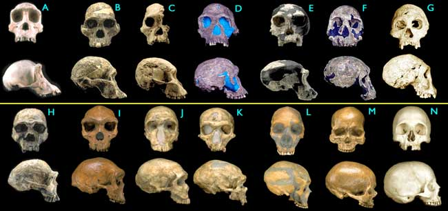 Hominid skulls