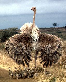 http://www.talkorigins.org/faqs/comdesc/images/ostrich.jpg