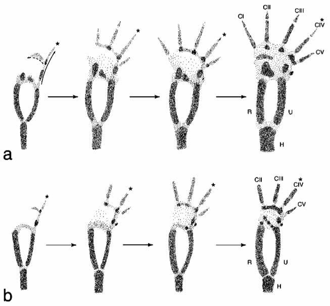Digit Numbering and Limb Development