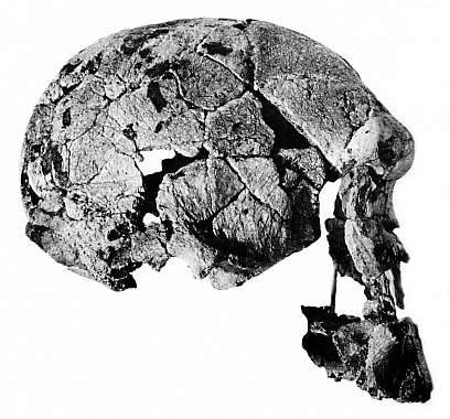 Assembled skull fragments found by Dr. Leakey in 1959.