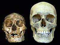 floresiensis and sapiens skulls