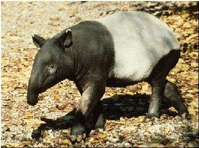      tapir.jpg